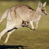 IS lên kế hoạch dùng kangaroo đánh bom ở Úc