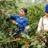 Nông dân chưa vội thu hoạch cà phê vì giá quá thấp