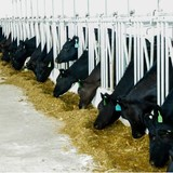 Doanh nghiệp 24h: Dừng dự án nuôi bò nghìn tỷ của Hoàng Anh Gia Lai