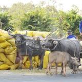 Đã thu mua tạm trữ hơn 882.000 tấn gạo
