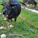 Nghịch lý dưa hấu: Bò ăn phát chán, người mua đắt đỏ