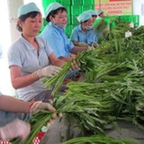 Trồng rau VietGAP cho thu nhập ổn định
