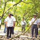 "Sản xuất ethanol ""giải cứu"" cây cacao"