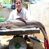 """Cá lăng """"khủng"""" sông Sêrêpốk liên tục mắc câu ngư dân"""