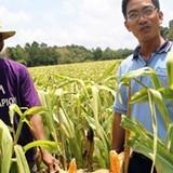 Nhà nông Khmer trồng màu lãi gấp 3 trồng lúa