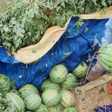 Dưa hấu Quảng Nam bị ép giá 1.000 đồng/kg tại ruộng?