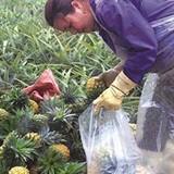 Người trồng dứa lao đao vì được mùa