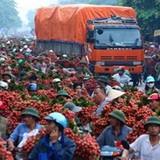 Xuất khẩu vải tươi đi Mỹ, Úc: Nông dân thấp thỏm chờ doanh nghiệp