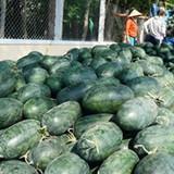 Quảng Nam: Nông dân trồng dưa lại khốn khổ