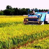 Chính phủ chi gần 500 tỷ đồng giữ đất lúa