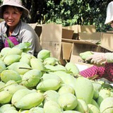 Xuất khẩu trái cây: Cửa đã mở, vẫn không dễ bước qua