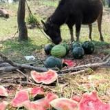 Nông sản được mùa mất giá là... điều tự nhiên