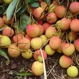 Mất gần 5 năm để quả vải tươi vào Mỹ, Australia