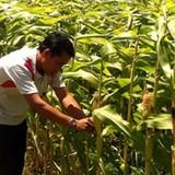 ĐBSCL: Chưa hào hứng chuyển từ trồng lúa sang trồng màu