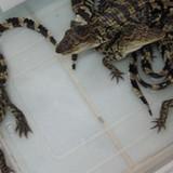Cá sấu giống tăng giá gấp rưỡi