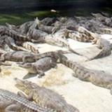 Lo mất trăm triệu vì bán cá sấu hợp đồng miệng ở miền Tây