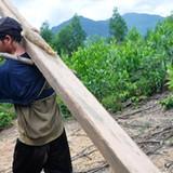 Thương lái tranh mua nguyên liệu, người dân phá rừng trồng keo