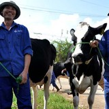 Kiếm tiền tỷ từ nuôi bò sữa