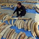 Cảnh sát quốc tế bắt giữ 3 vụ buôn lậu ngà voi khủng