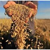 Cơ hội để Việt Nam đặt dấu chấm hết cho ngành lúa gạo Campuchia?