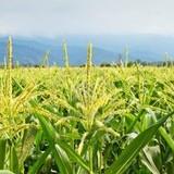 Thái Lan thông qua khoản trợ cấp nông nghiệp 1,3 tỷ USD