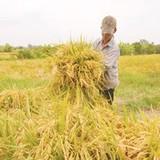 Ngành sản xuất lúa gạo ở Đông Nam Á lao đao vì El Nino
