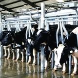 Ngành sữa thời TPP: Liệu doanh nghiệp nội có đủ lực?