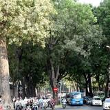 [Ảnh ] Những hàng cây xanh trăm năm quý giá ở Sài Gòn
