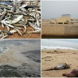 <span class='bizdaily'>BizDAILY</span> : Vụ cá chết hàng loạt: Chuyên gia nước ngoài sẽ vào cuộc