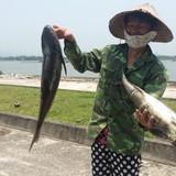 Tỉnh Thanh Hóa: Cá chết trên sông Lạch Bạng do tàu thuyền ra vào