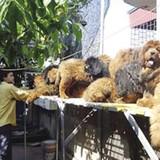 Trại chó ngao Tây Tạng 20 tỷ đồng giữa Sài Gòn