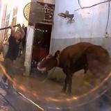 Australia cấm xuất bò sang Việt Nam: Thiệt cho người làm đúng