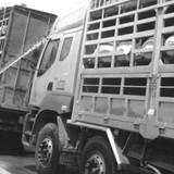 Dịch vụ tắm lợn và đường đi của thịt lợn chết vào mâm cơm người lao động