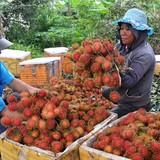 Nông dân Đồng Nai ồ ạt trồng chôm chôm Thái