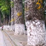 Tiếc nuối hàng xà cừ trăm tuổi sắp bị di dời trên đường Kim Mã