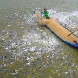 Vì đâu ngành nuôi trồng thủy sản suy yếu?