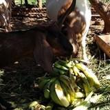 [Video] Chuối rẻ hơn rau, dân mua về cho dê ăn