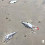 Xuất hiện cá chết trôi dạt vào bờ biển Vũng Áng