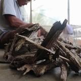 [Video] Xỉa gỗ tìm trầm hương bán hơn 20 triệu đồng mỗi kg