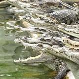 [Video] Cá sấu ở Sài Gòn bị bỏ đói vì rớt giá