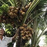 [Video] Dừa 7 đọt trái sum sê giá hàng trăm triệu đồng ở miền Tây