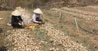 Hành tây, khoai tây Đà Lạt rớt giá mạnh