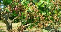 Nông dân Bình Phước trúng đậm mùa điều
