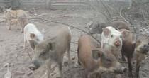Nuôi lợn trong biệt thự bỏ hoang