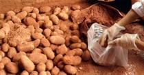 In 200.000 bao bì để chống mạo danh khoai tây Đà Lạt