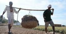 Hành tím Sóc Trăng lại mất giá, nông dân lỗ vốn