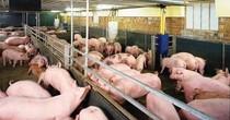 """Giá lợn tăng """"phi mã"""", người nuôi có nên dừng bán?"""