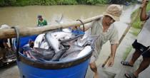 Giá cá tra ở Đồng bằng sông Cửu Long cao kỷ lục