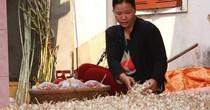 """Tỏi voi """"bóp chết"""" tỏi Lý Sơn: Nhiều giống cây thuần Việt đang biến mất"""