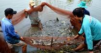 [Video] Kéo lưới thu hoạch cá sặc rằn bán Tết ở miền Tây